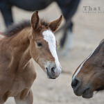 wild horse photography of a mare warning a foal