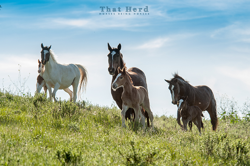 wild horse photography of three mares and their new foals cresting a hilltop