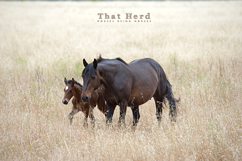 wild horse photography of a mare and young foal in an oat field