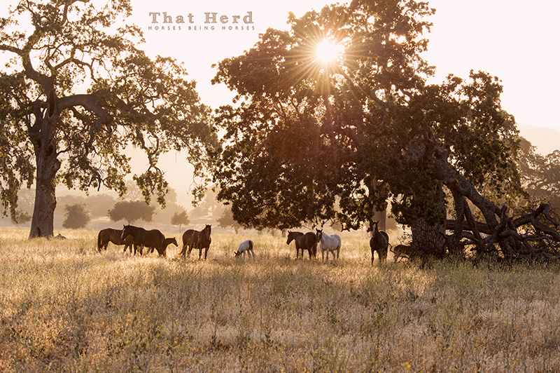 wild horse photography of mares and foals under oak trees in the early morning