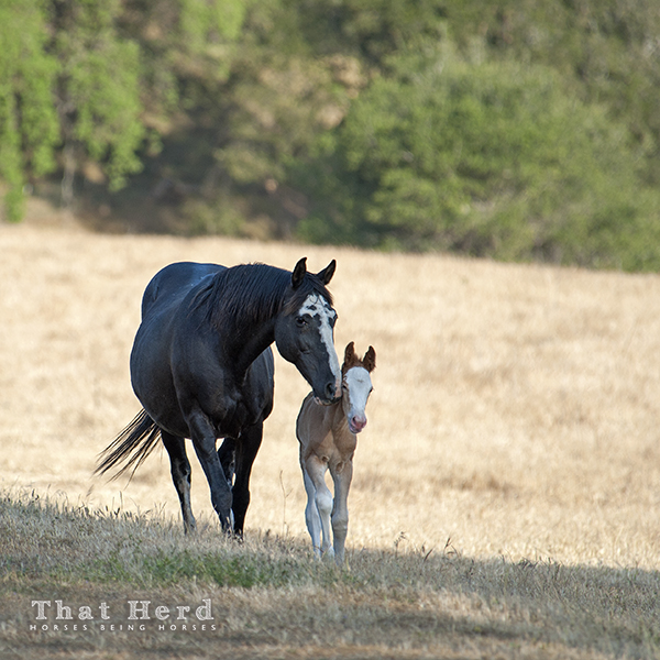 wild horse photography of a mare approaching with her newborn