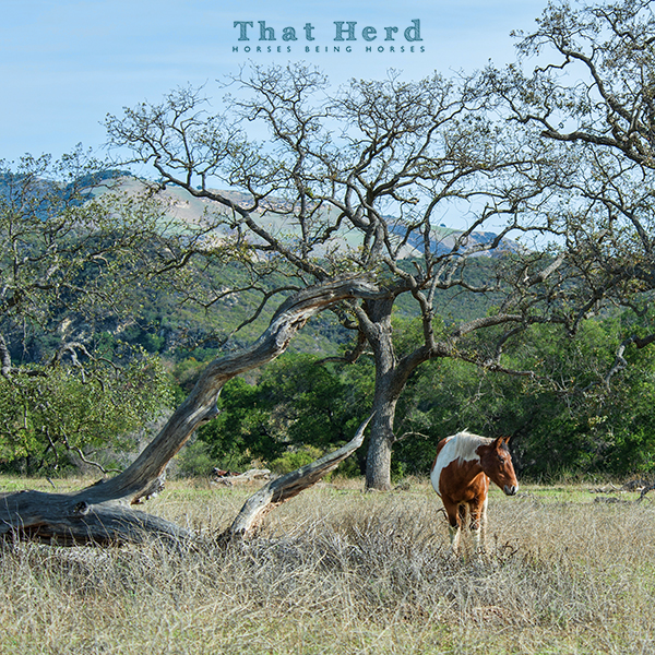 wild horse photography of a mare in an oak tree environment