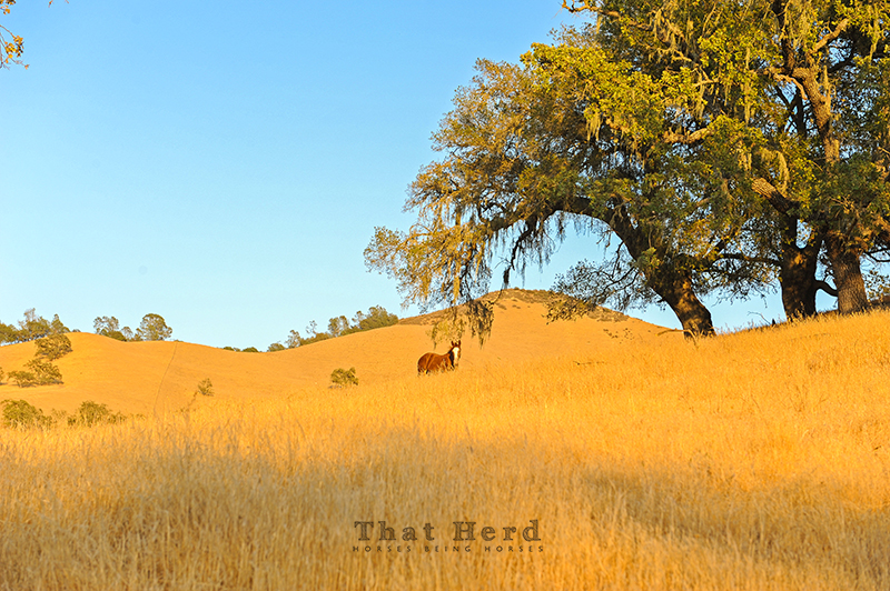 wild horse photography of a foal in a golden landscape