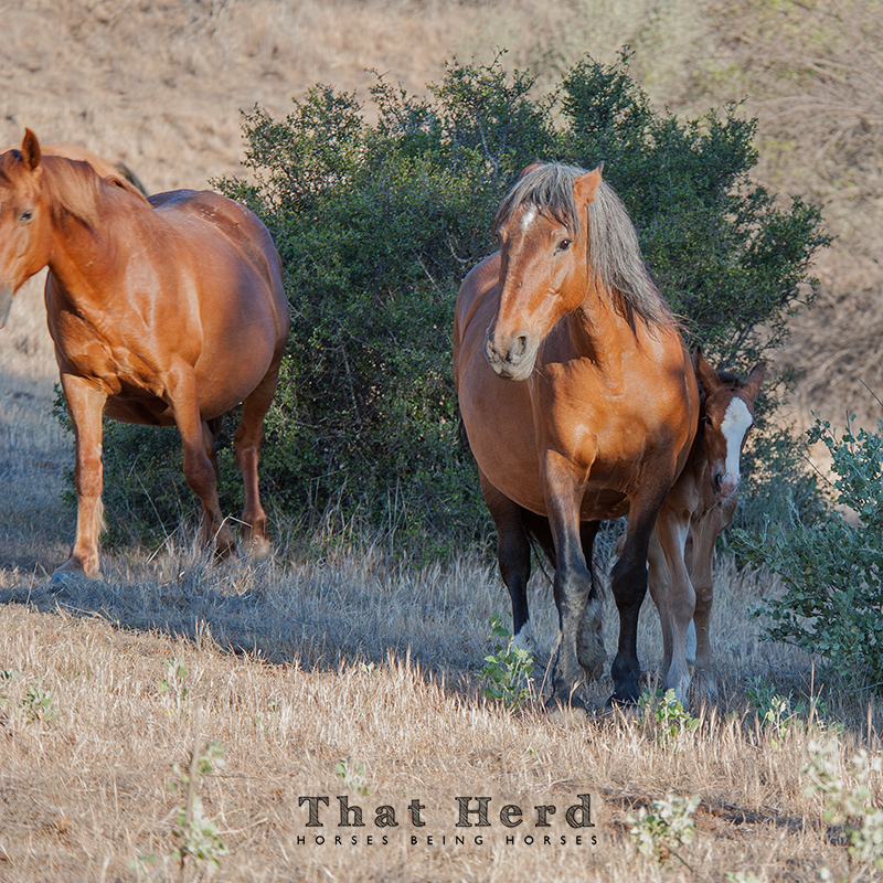 wild horse photography of a mare protective over her newborn