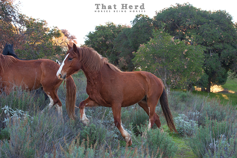 wild horse photography of a beautiful mare moving through the brush