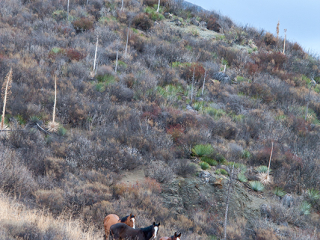 wild horse photography of three yearlings on a brushy hillside