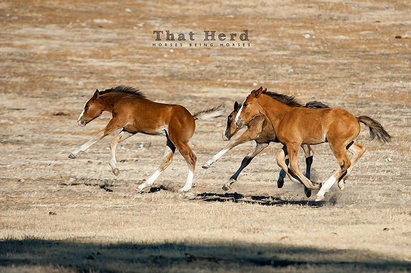 wild horse photography of colts frolicking