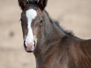 wild horse photography portrait of a newborn foal