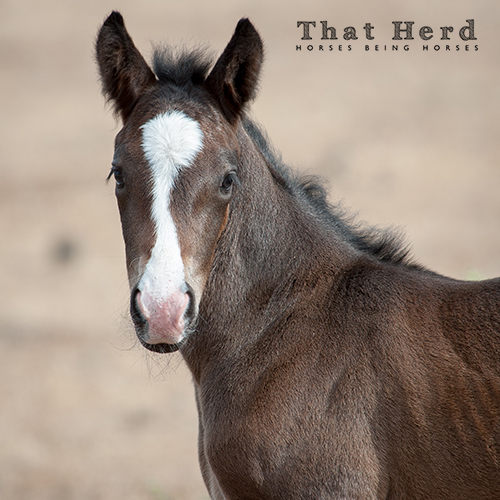 wild horse photography portrait of a newborn foal