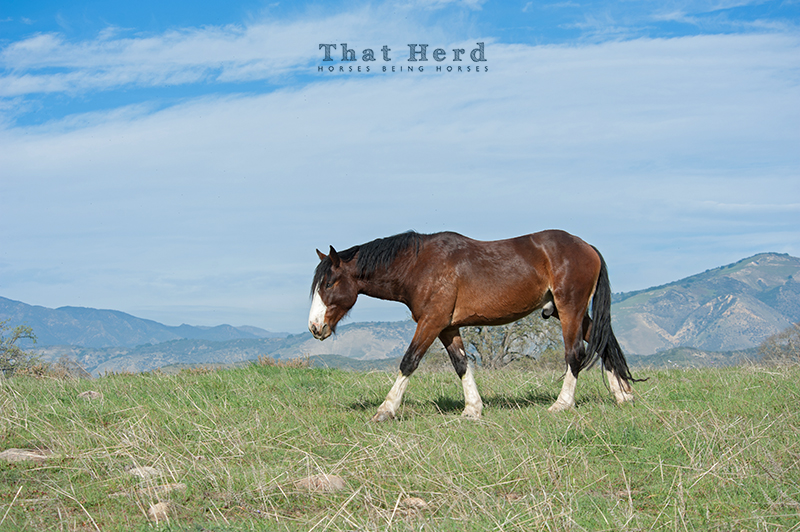 wild horse photography of a large two-year-old colt walking in a meadow