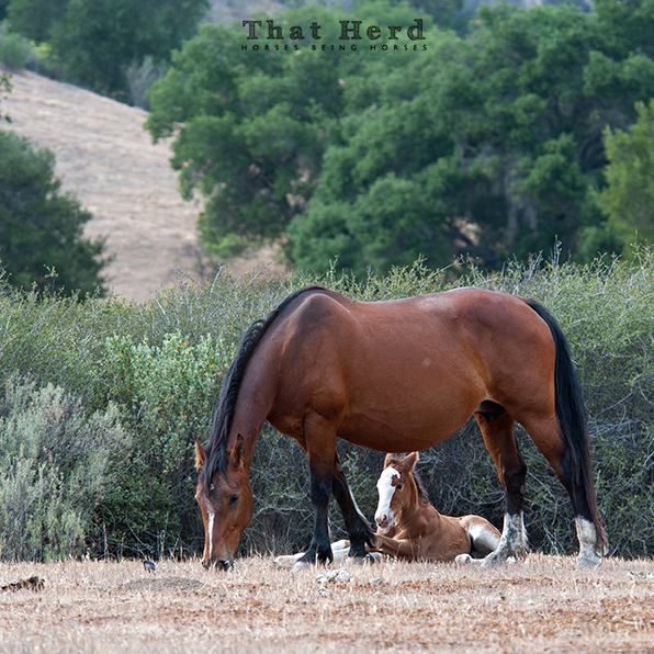 wild horse photography of a mare shielding her lying foal