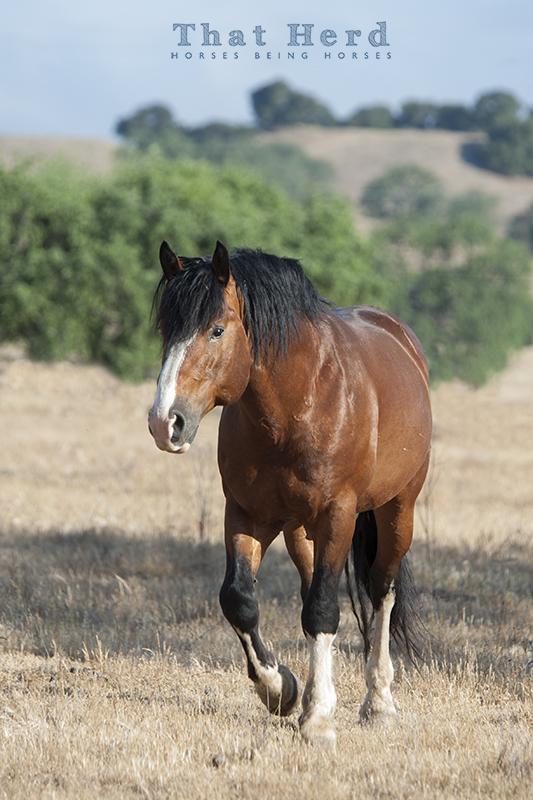 wild horse photography of a big bay stallion