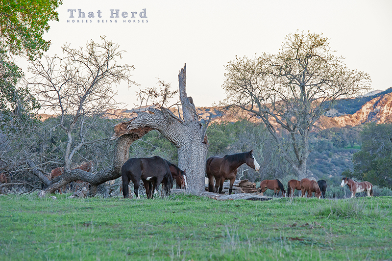 wild horse photography of horses in a landscape with a broken oak tree