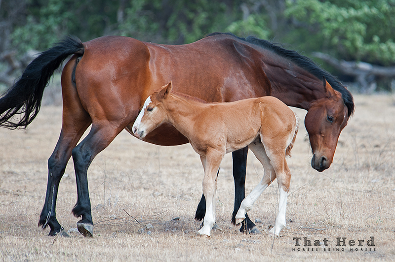wild horse photography of a mare disciplining her rough foal