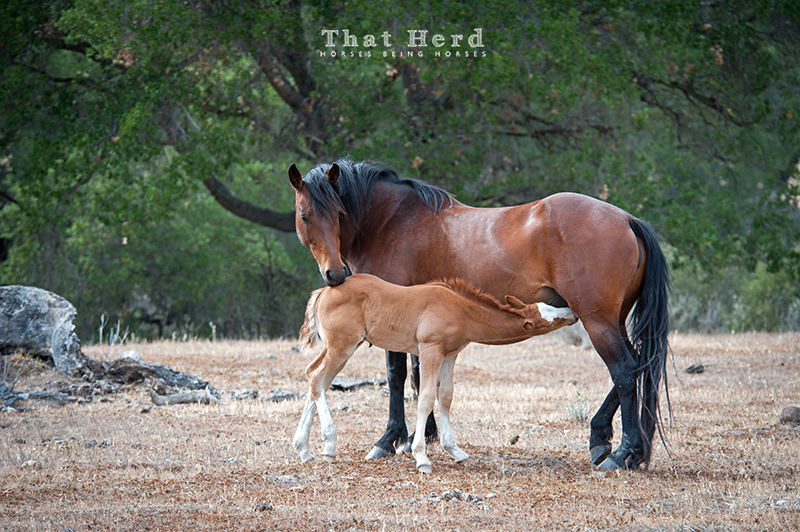 wild horse photography of a mare and nursing foal