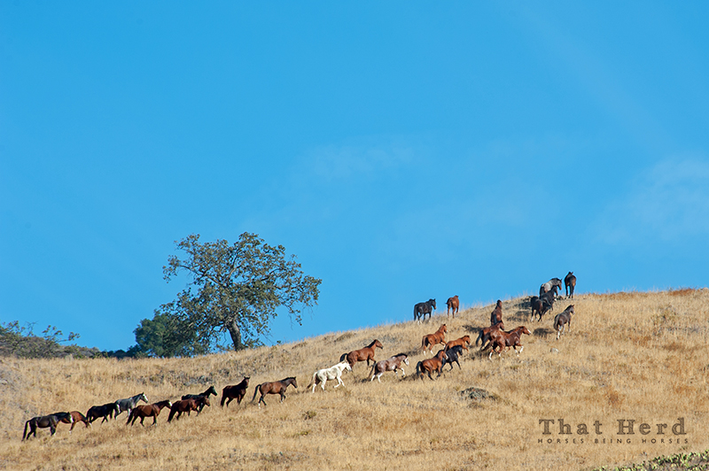 wild horse photography of a band of horses streaming up a golden hillside