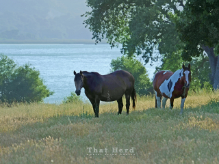 wild horse photography of two pregnant mares in a pretty landscape