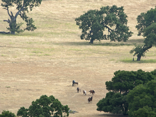 wild horse photography of distant mares and foals in a landscape