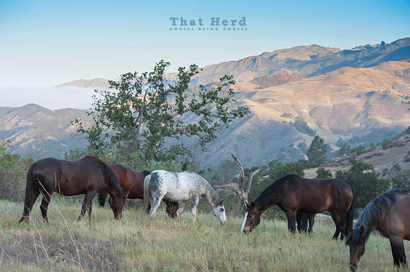 wild horse photography of several horses grazing on a mountain top
