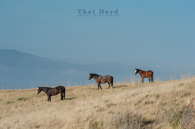wild horse photography of three young horses wandering high above the valley