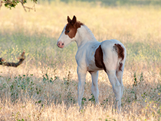 wild horse photography of a flashy paint colt in a late afternoon palette of color
