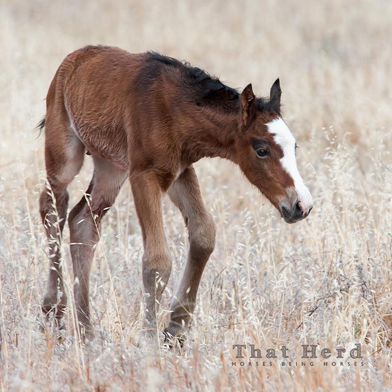 wild horse photography of a newborn foal