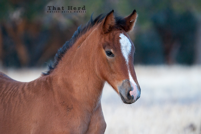 wild horse photography of a foal with a wavy hair coat