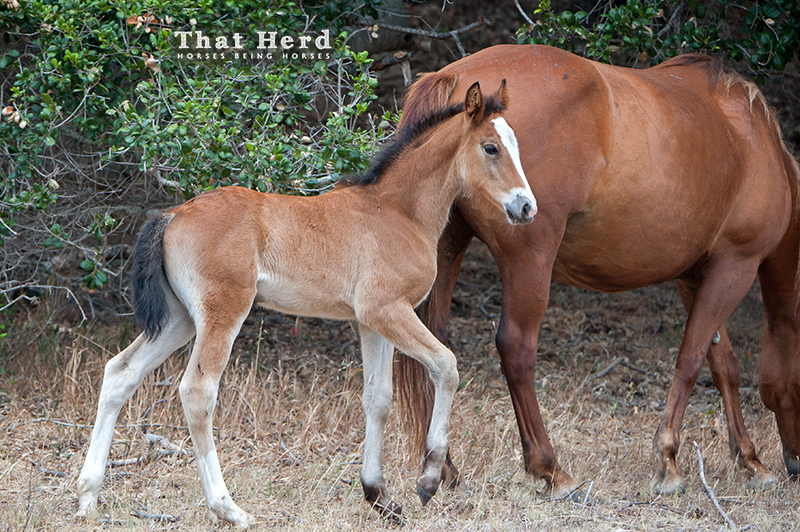 wild horse photography of a bay filly at about one month old