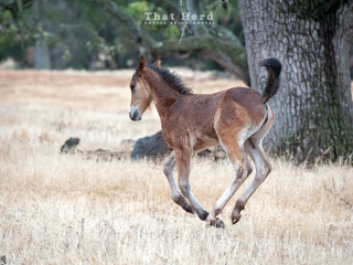 wild horse photography of a filly playing in the rain