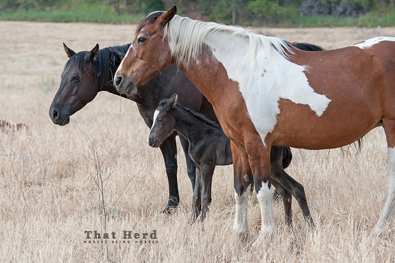 wild horse photography of a standoff between two mares over a newborn foal