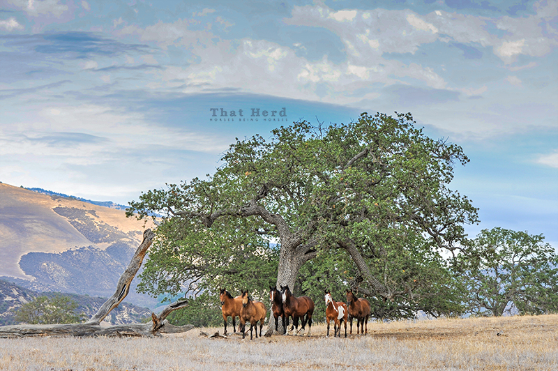 wild horse photography of That Herd members under a cloudy summer sky