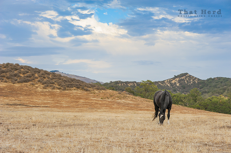 wild horse photography of a black horse in a summer scene