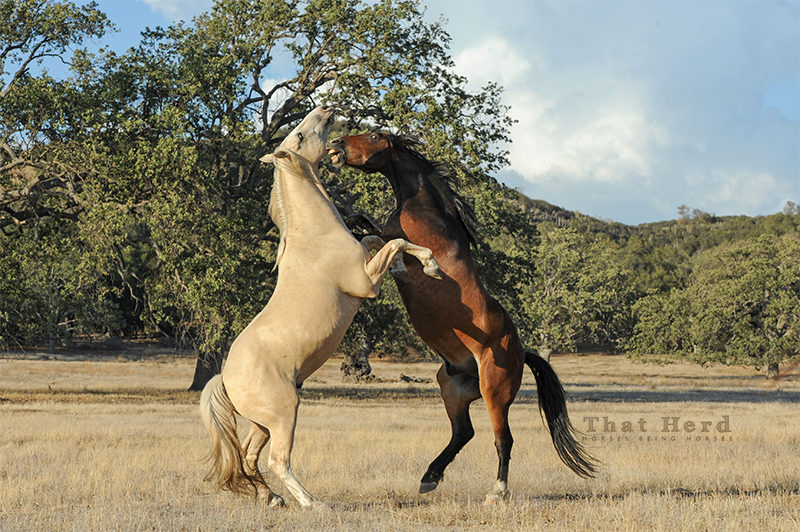 wild horse photography of two mature horses in mock battle