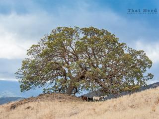 wild horse photography of horses under a massive oak tree