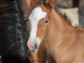 wild horse photography of a young foal with dried milk all over her nose