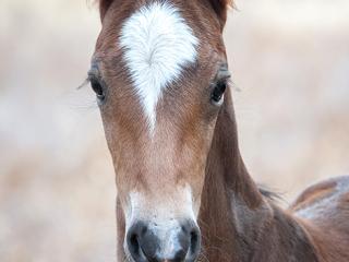 wild horse photography portrait of a newborn colt