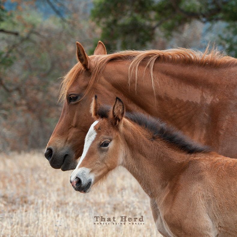 wild horse photography portrait of a mare and her foal