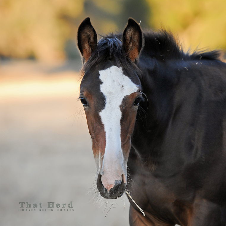 wild horse photography of a beautiful young filly