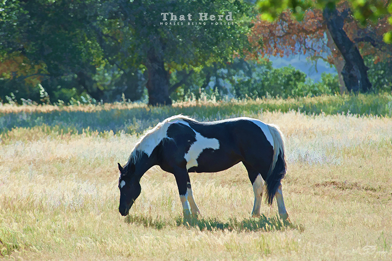 wild horse photography of a paint mare in a sunny field