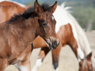 wild horse photography of a strong bay filly