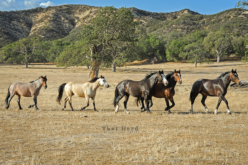 wild horse photography of a band of horses trotting past
