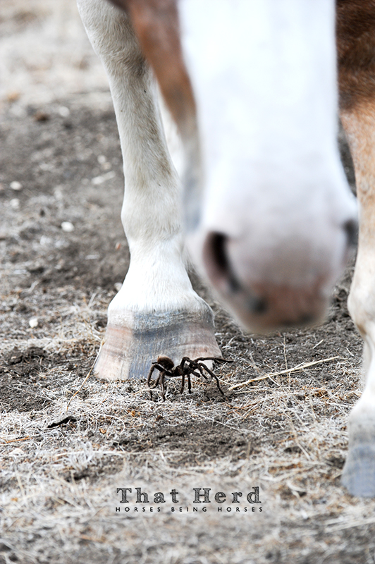 wild horse photography of a mare nearly stepping on a tarantula