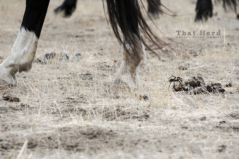 wild horse photography of a tarantula under the hooves of passing horses