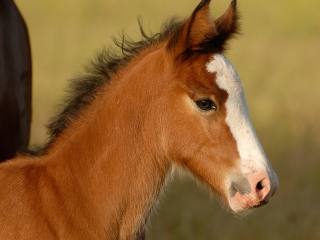wild horse photography of a newborn foal with resolve