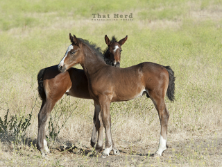 wild horse photography of two young foals nuzzling
