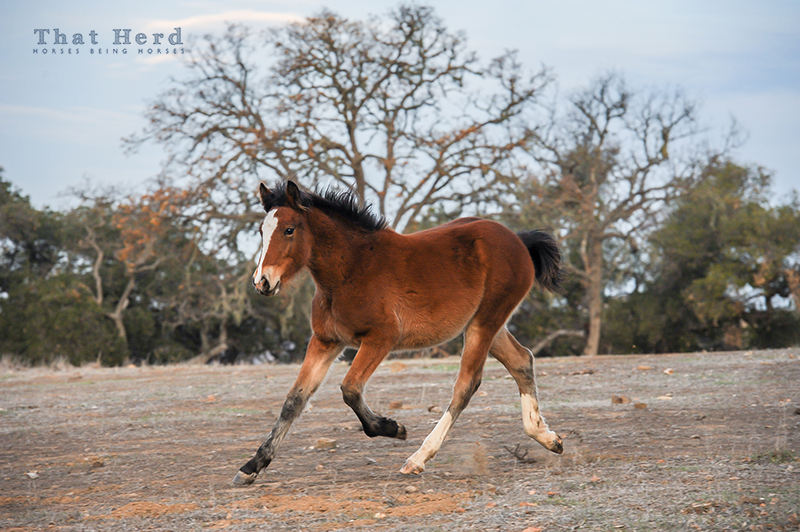 wild horse photography of a frisky weanling filly