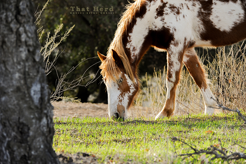wild horse photography of a yearling grazing on winter grass