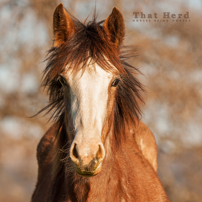 wild horse photography of a weanling filly with a wild mane