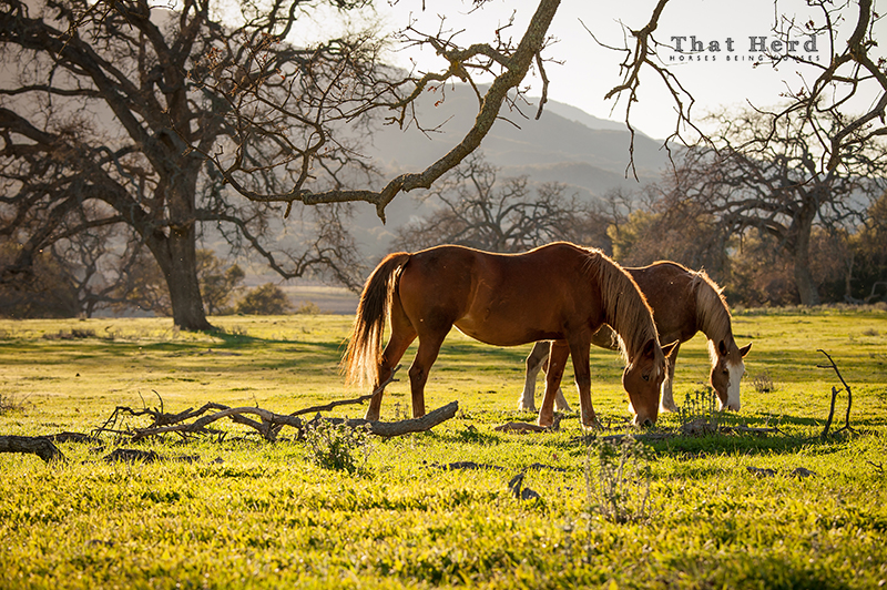 wild horse photography of two mares grazing on new winter grass