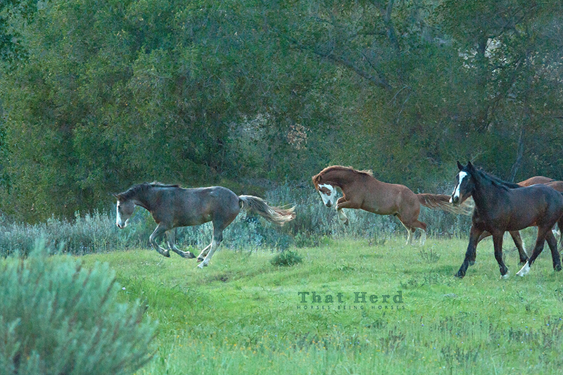 wild horse photography of young horses playing at dusk